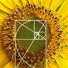 Art - Golden ratio Daisy Flower